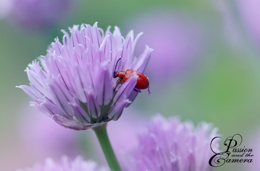 Scarlet Lily Beetle by PassionAndTheCamera