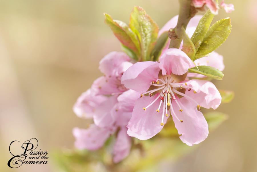 Peach Blossom by PassionAndTheCamera