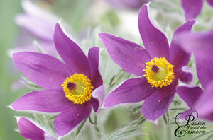 Pasqueflower by PassionAndTheCamera