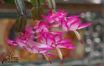 Christmas Cactus by PassionAndTheCamera