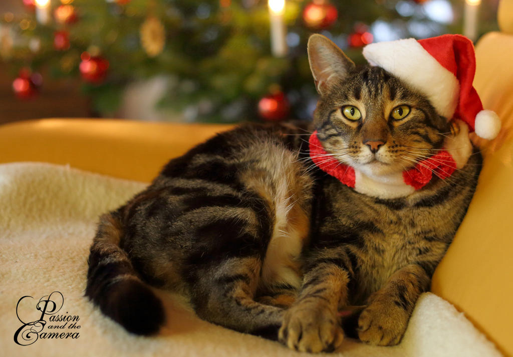 X-mas Cat by PassionAndTheCamera