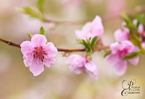 Peach Tree by PassionAndTheCamera