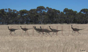 struthiomimus pack on the run