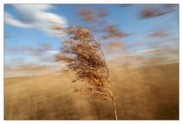Corn Field by KrisG