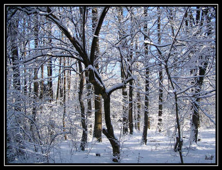 Snowy Trees In Salzburg 2, FV