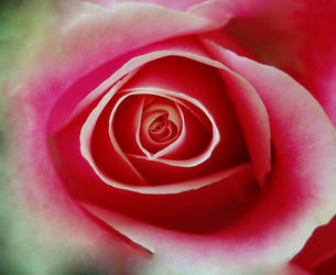 A rose is a rose by hennatea