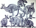 Macropods