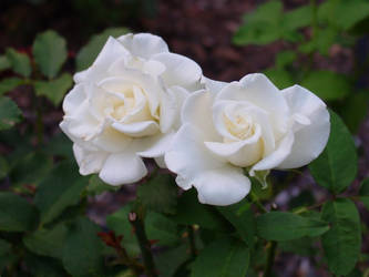 Californian white roses by Za-Drakona