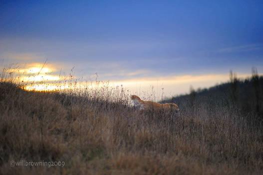 lion stalking in elephant gras