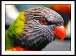 a rainbow lorikeet .