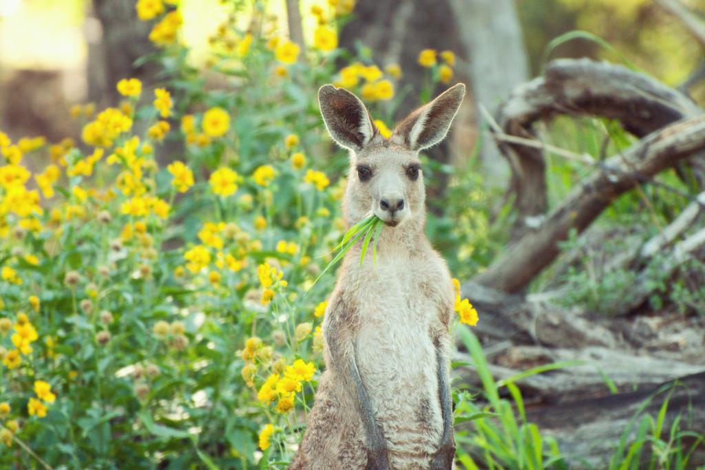 Kangaroo Grazing by LoloHalakahiki