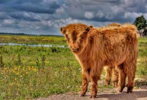 Highland Cattle by JoostvanD