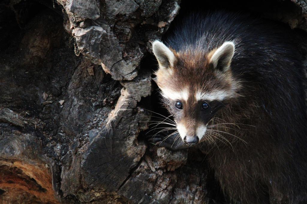 Raccoon :) by Layzylausi