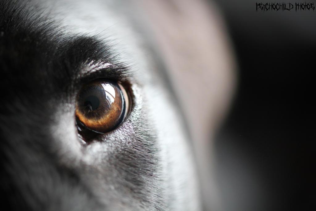 Labrador by Layzylausi