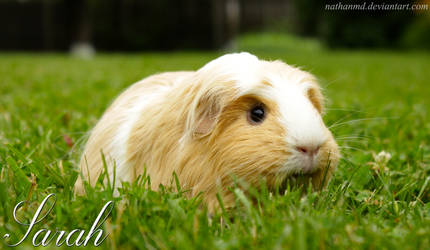 Sarah The Guinea Pig