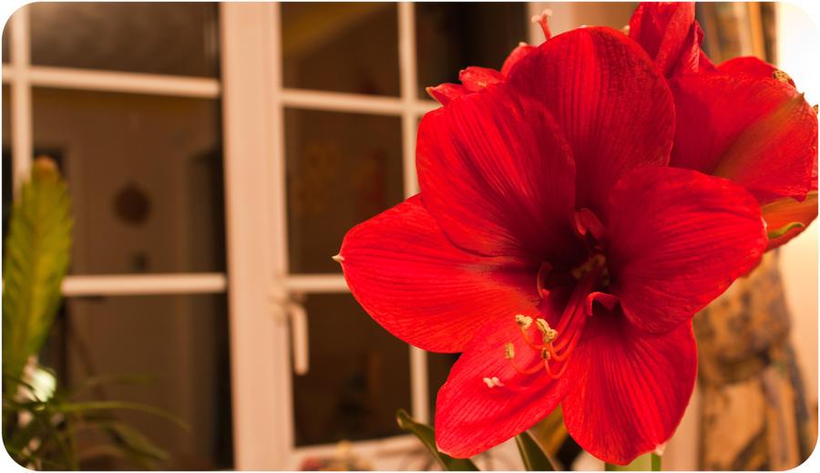 CVECE Amaryllis_flower_by_futureal33-d3c7mcd