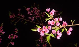 Cherry Blossoms at Night by Alamuki