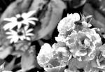 Bee On White Flowers Bw 0951