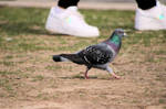 Pigeon Out For A Walk 9054 by wolvesandcharms