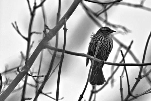 Bird In A Tree Bw 9875