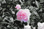 White And Pink Flower 13805