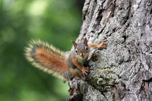 Red Squirrel In A Tree 26423