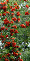 Red Berries 26291 P1