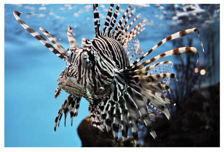 Lion Fish by tifftoxic