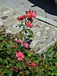 Bulgarian Roses by BeLightning