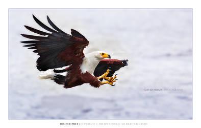 Bird of Prey by Davidmugo