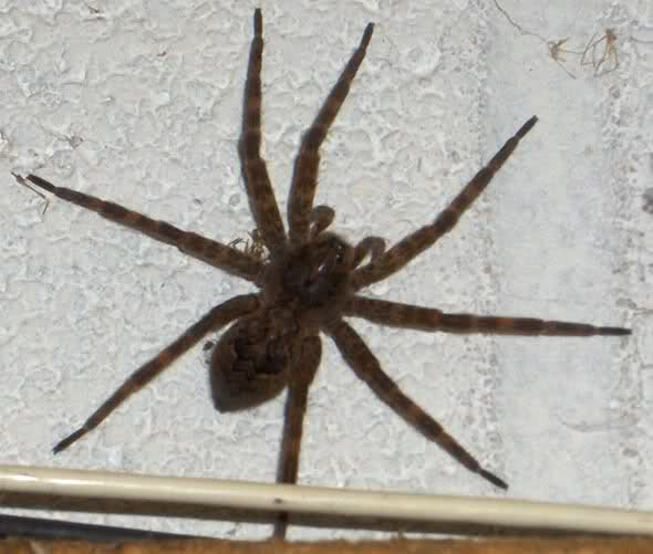 Huntsman spider - Wikipedia