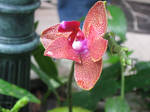 Orchid with water droplet
