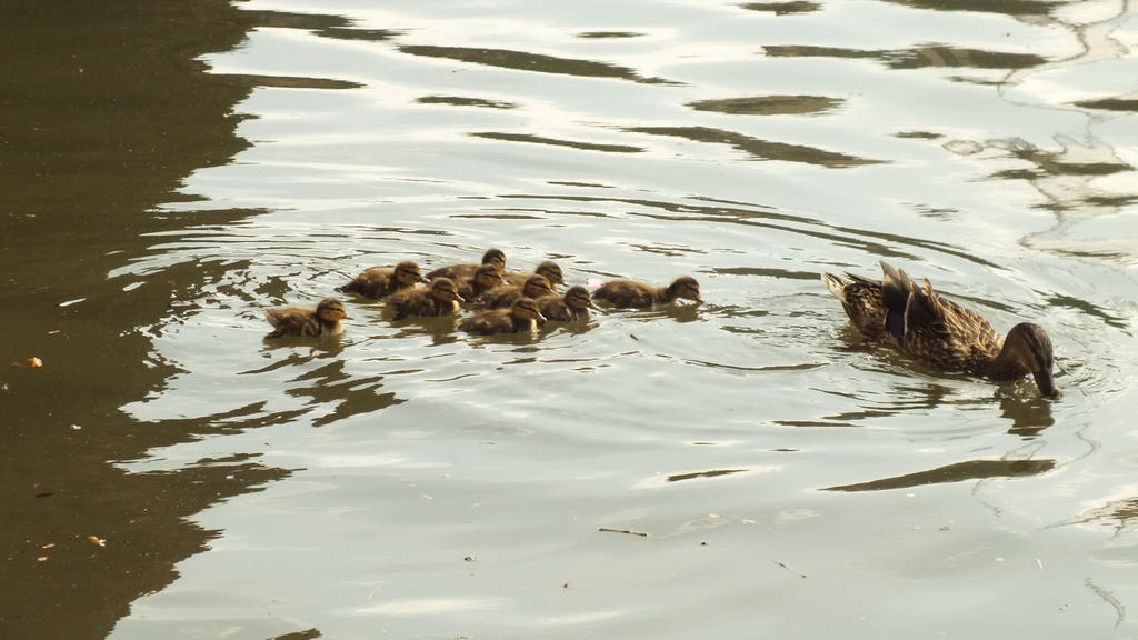 Allegheny River Ducks by mjb1225