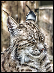 Animal at Zoo - Lynx by Serdarakman