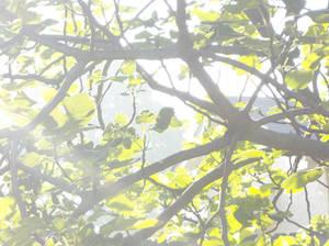 Morning Fig Leaves