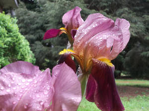 My First Irises