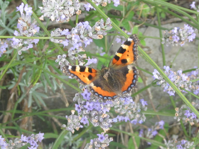 Small Tortoise Shell Butterfly on Lavender 2 by AWKYWOLF99
