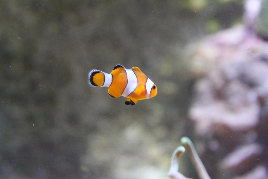 Baby Clownfish by Citron--Vert on DeviantArt
