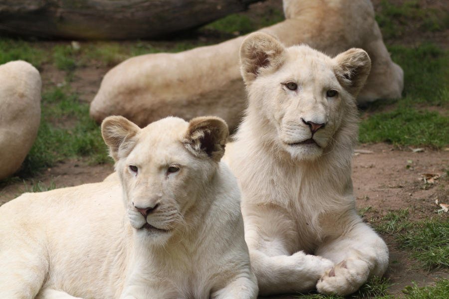 White cubs by Citron--Vert