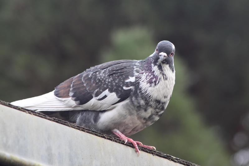 Piebald Pigeon by Citron--Vert