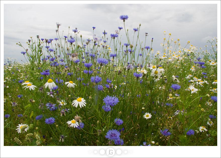 Flower field by janograf