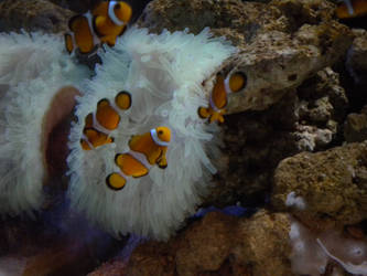 Clownfish by Tia-Are
