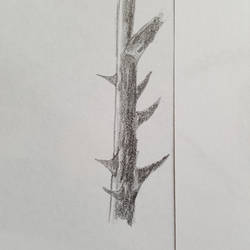5 minute sketch of a rose branch.