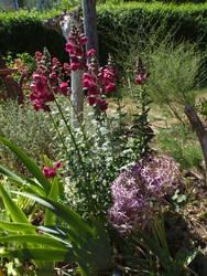 Antirrhinum and Allium