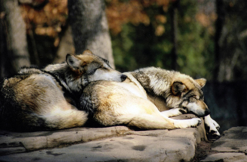 sleeping_wolves_by_ps8thrice-d38e1ym.jpg