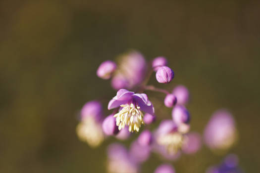Seeds Of Violet