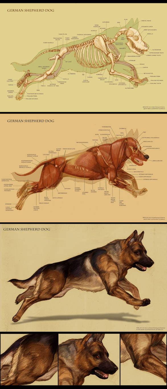 Dog anatomy by IC-ICO