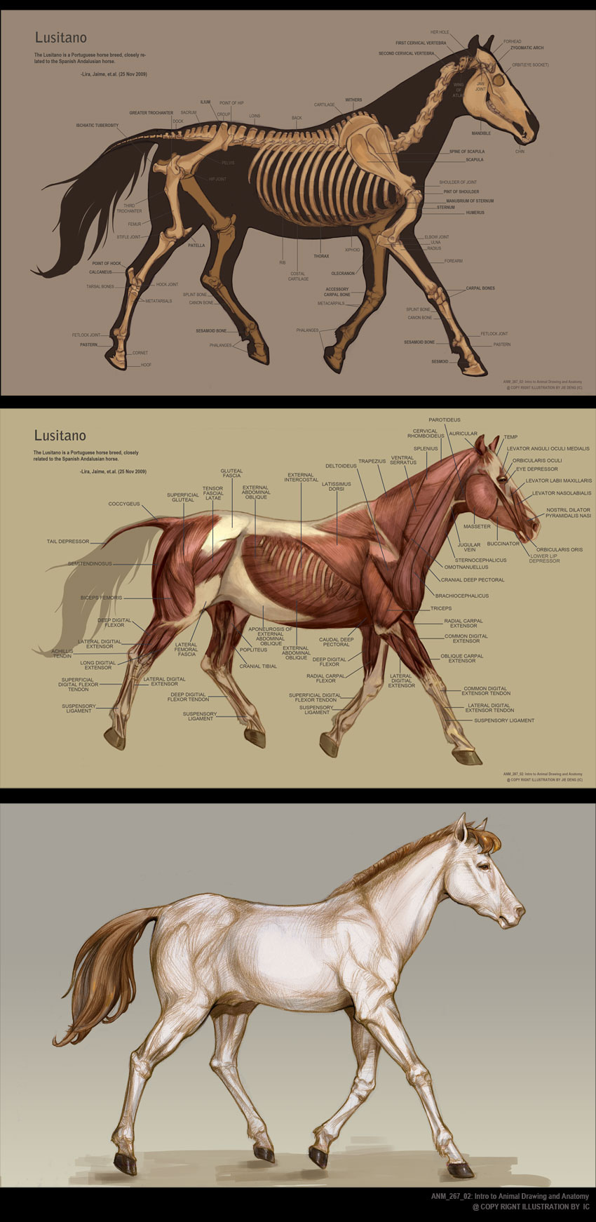 Horse anatomy by IC-ICO on DeviantArt