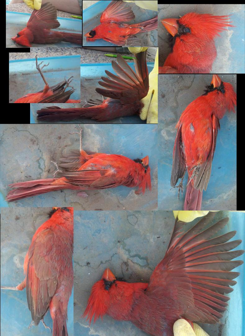 bird ref by DawnFrost