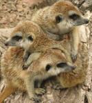 Meerkat Mashup by vermilionbirdy